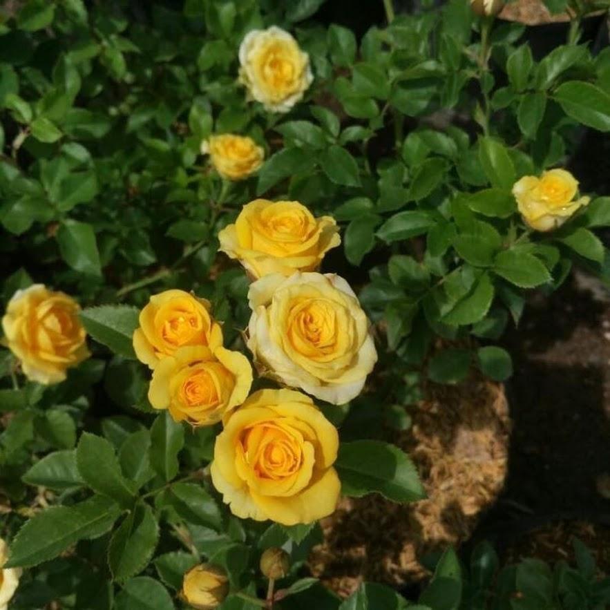 Tanaman Hias Bunga Hidup Mawar Floribunda Berbunga Tangerang Selatan