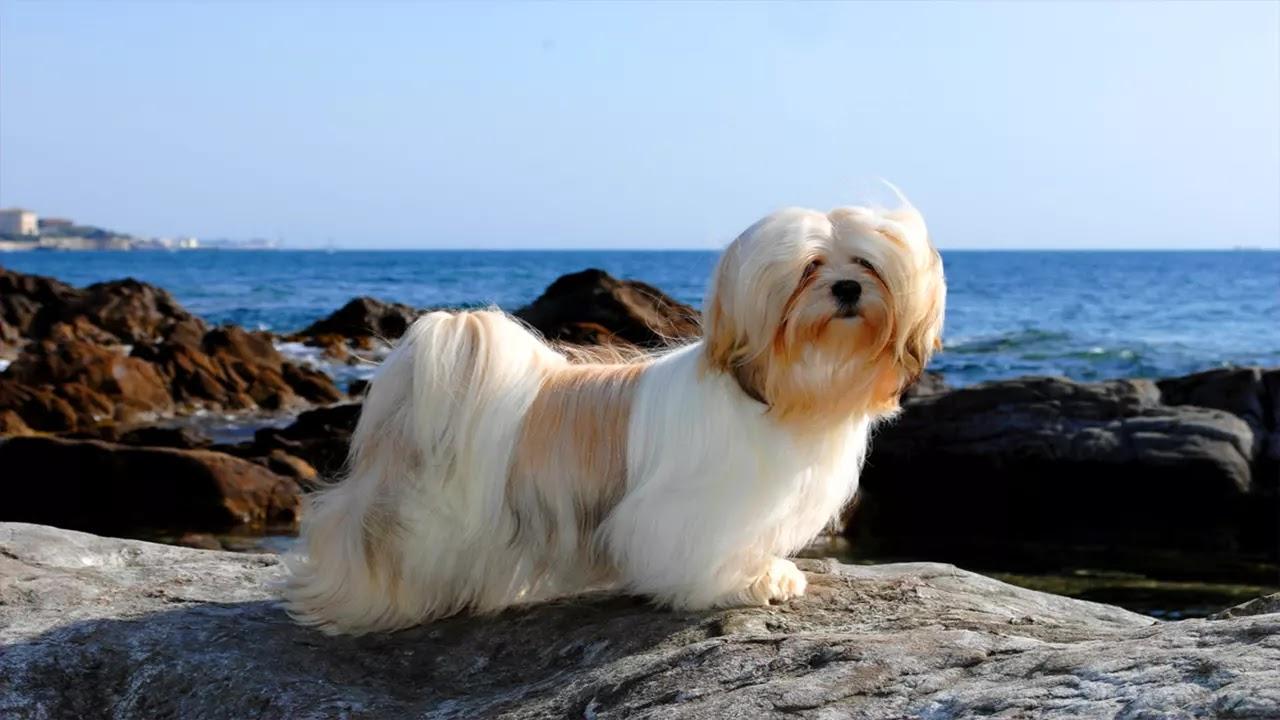 Lhassa Apso : lhassa chien, caractère, santé, prix, élevage