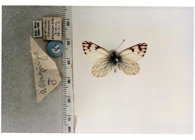 Mariposa andina (Phulia nymphula)