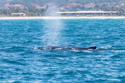 whalewatching, baleias, baleia jubarte, observação de baleias, Megaptera novaeangliae, whale, baleia corcunda, baleia cantora, praia do forte, Bahia, fotografia de natureza, natureza, turismo