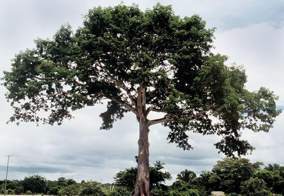 Sumaúma (Ceiba pentandra)