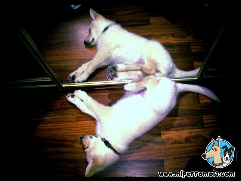 Can de Palleiro cachorro reflejada en el espejo.
