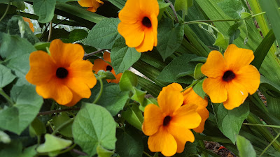 Orange blooms of Black-Eyed Susan vine - Thunbergia alata