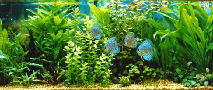 Discus fish tank aquascape