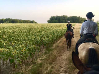 riding by a subflower field in a riding holiday in France