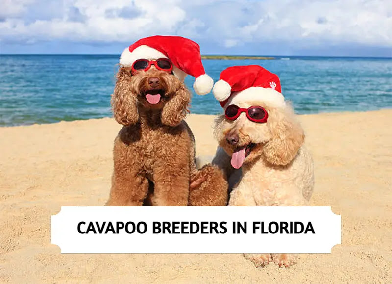 Best Cavapoo Breeders in Florida