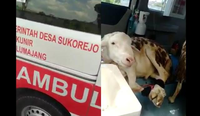 Ambulans Desa Sukorejo yang membawa kambing