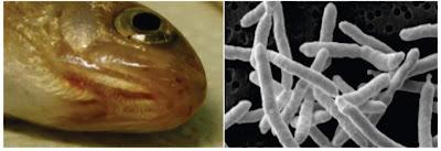 Penyakit Bakterial Ikan : Yersinia ruckeri