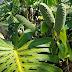 Kostaryka ...flora..