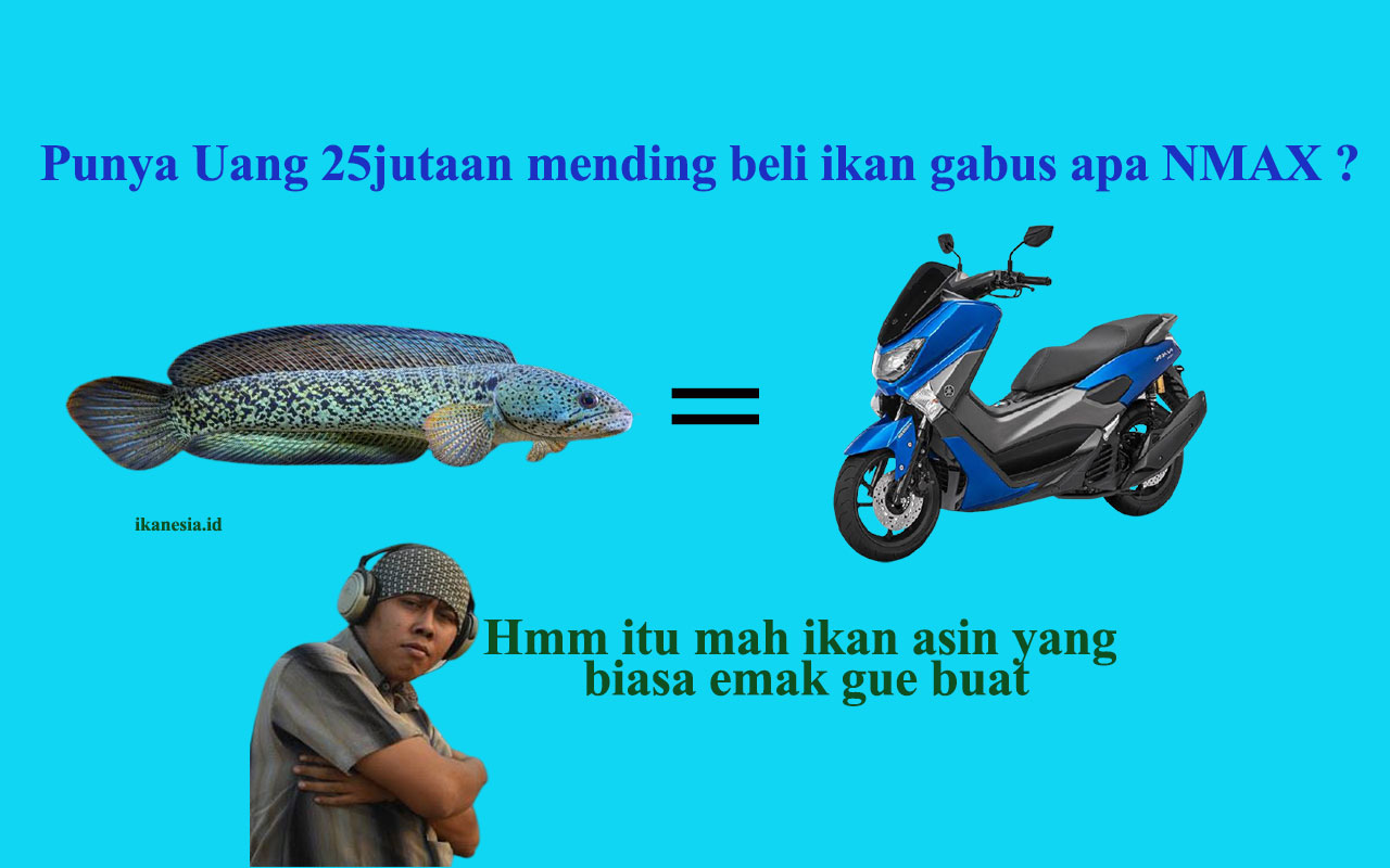 Ikan Channa Barca, Ikan Gabus Seharga Motor