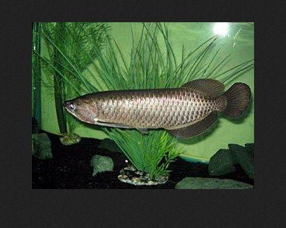 Ikan Arwana Irian Batik, Arwana Pino, Arwana Banjar