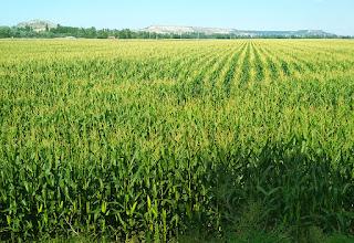 ¿Cómo reconocer los campos de cereales? (Desde lejos): Maíz