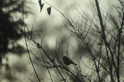 Dawn Chorus in January. Wildlife Garden Blog.
