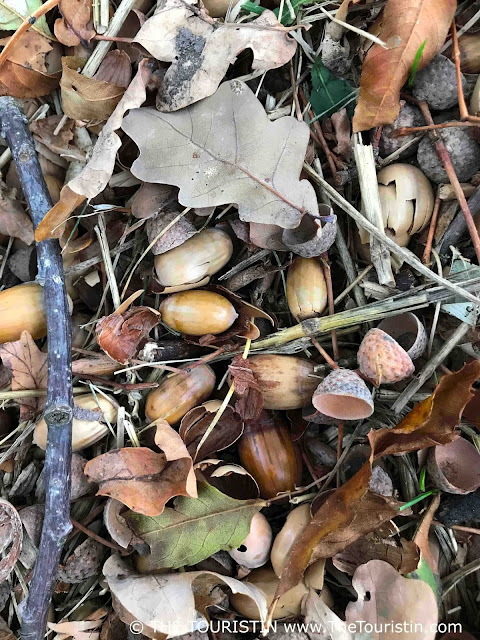 Acorns and leaves on a forest floor in autumn/fall.