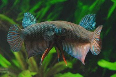 Aquarium Fish Family Labyrinth Belontiidae Betta