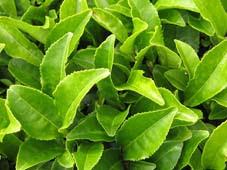khasiat-dan-manfaat-teh-hijau-untuk-kesehatan-tubuh