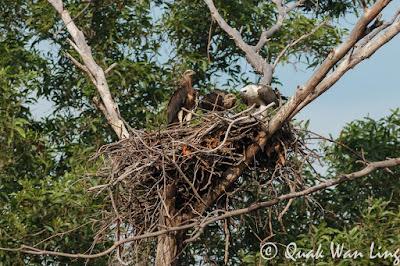 White-bellied Sea Eagle's nest