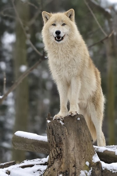 Alluring Planet: Arctic Wolf