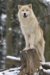 wolf arctic wolves loup snow gray 500px charming moon secrets golden alaska happy josef gelernter subspecies eyes greenland animaux canada