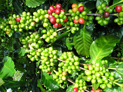 Giá cà phê hôm nay 24/10 được dự báo sẽ tăng