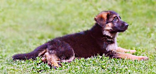 german shepherd puppy training guide