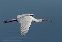African Spoonbill in flight over the Diep River Woodbridge Island - Vernon Chalmers Photography Copyright