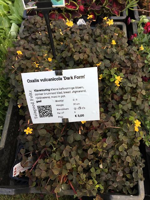 Oxalis vulcanicola 'Dark Foam'