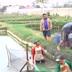 Cara pemijahan ikan mas