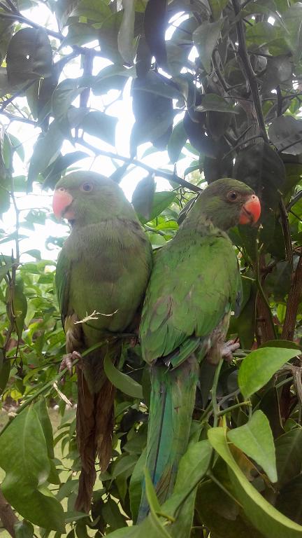 Ammar Imtiaz Parrots Angle And Brawo