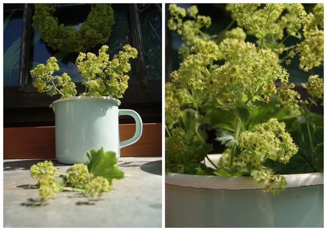 Blütenstände des Frauenmantels