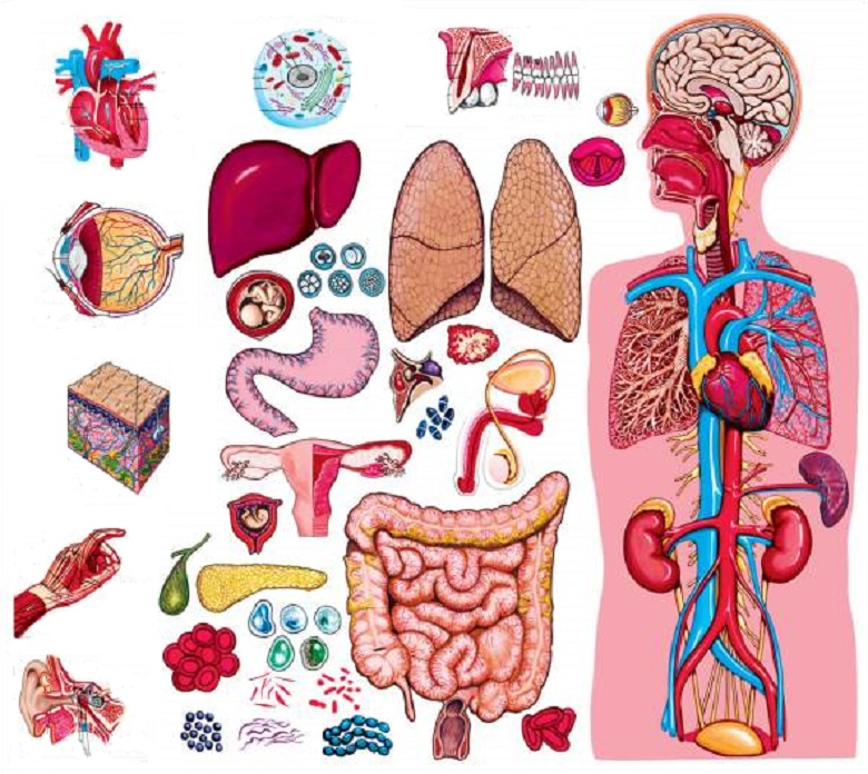 How Many Organs are There in Human Body?