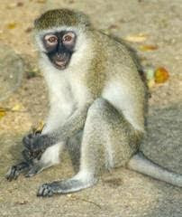 Grrivet monkey