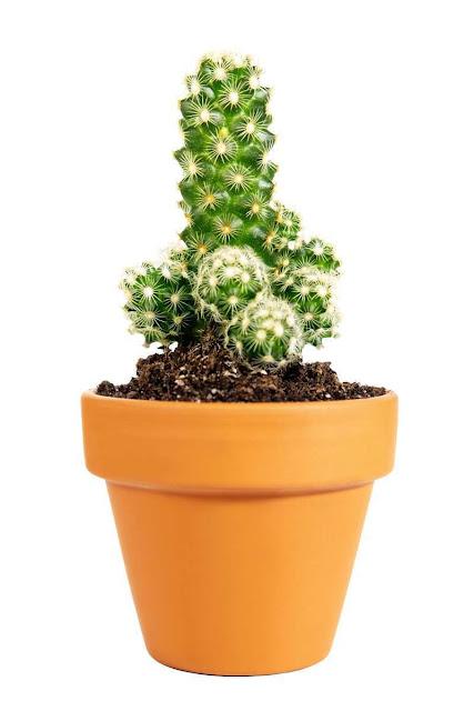 Kaktus Ladyfinger