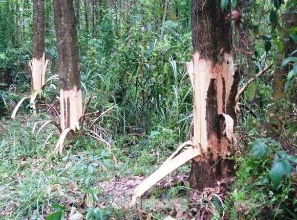 Bí thư xã chỉ đạo phá cây của dân: 'Hạ cánh an toàn' - luật pháp có tồn tại hay không?