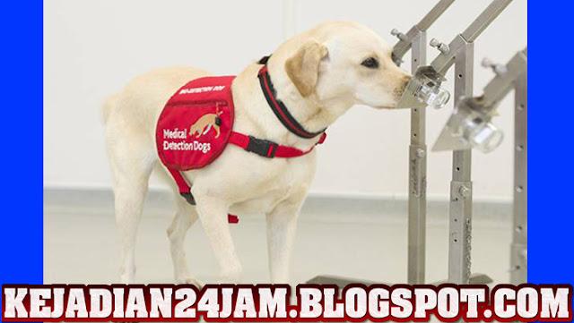 Anjing Di Negara Inggris Dilatih Untuk Deteksi Virus Corona