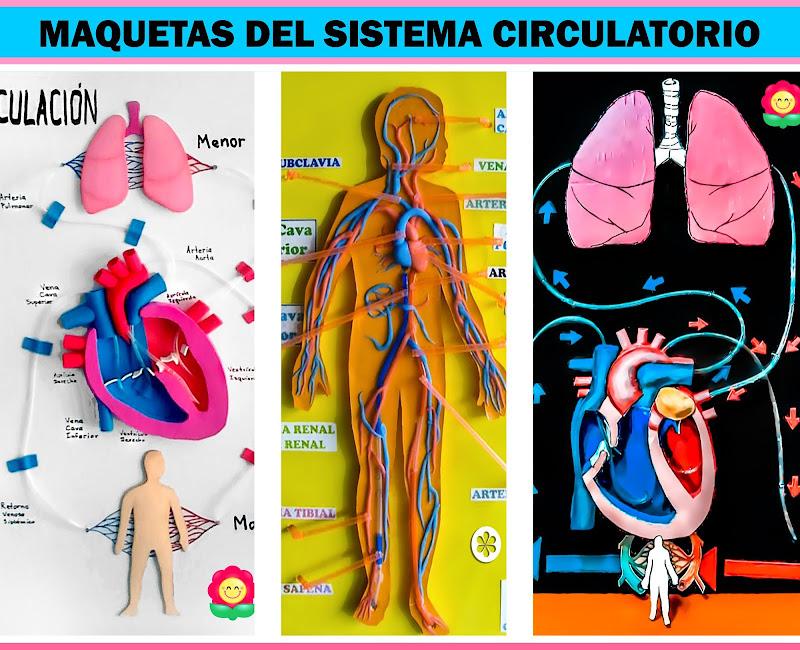 Maquetas del Sistema Circulatorio Fáciles