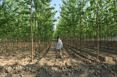 how-to-grow-poplar-tree