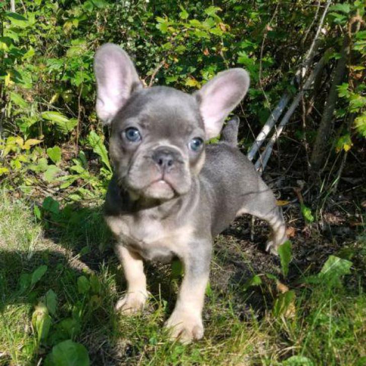 French Bulldog Puppies For Sale | French Bulldog Breeder | Purebred