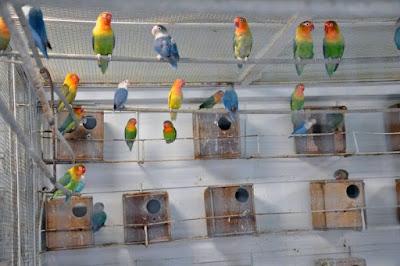 Ciri-ciri Lovebird Bertelur