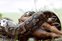 Büyük bir piton yılanı avını sarmalayıp yutarken