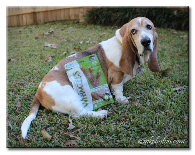 Basset Hound sitting with Whimzees Natural Treats
