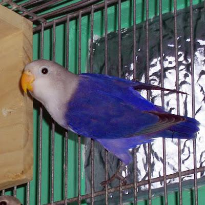 lovebird violet fisheri