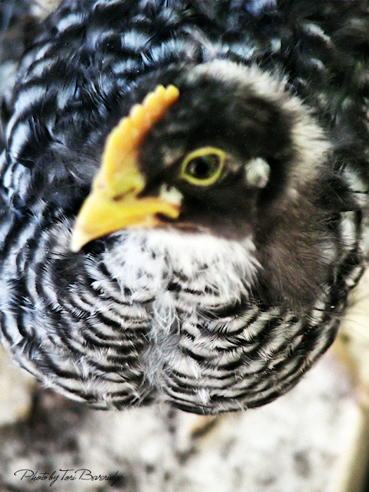 At Home With Tori The Rooster Crows