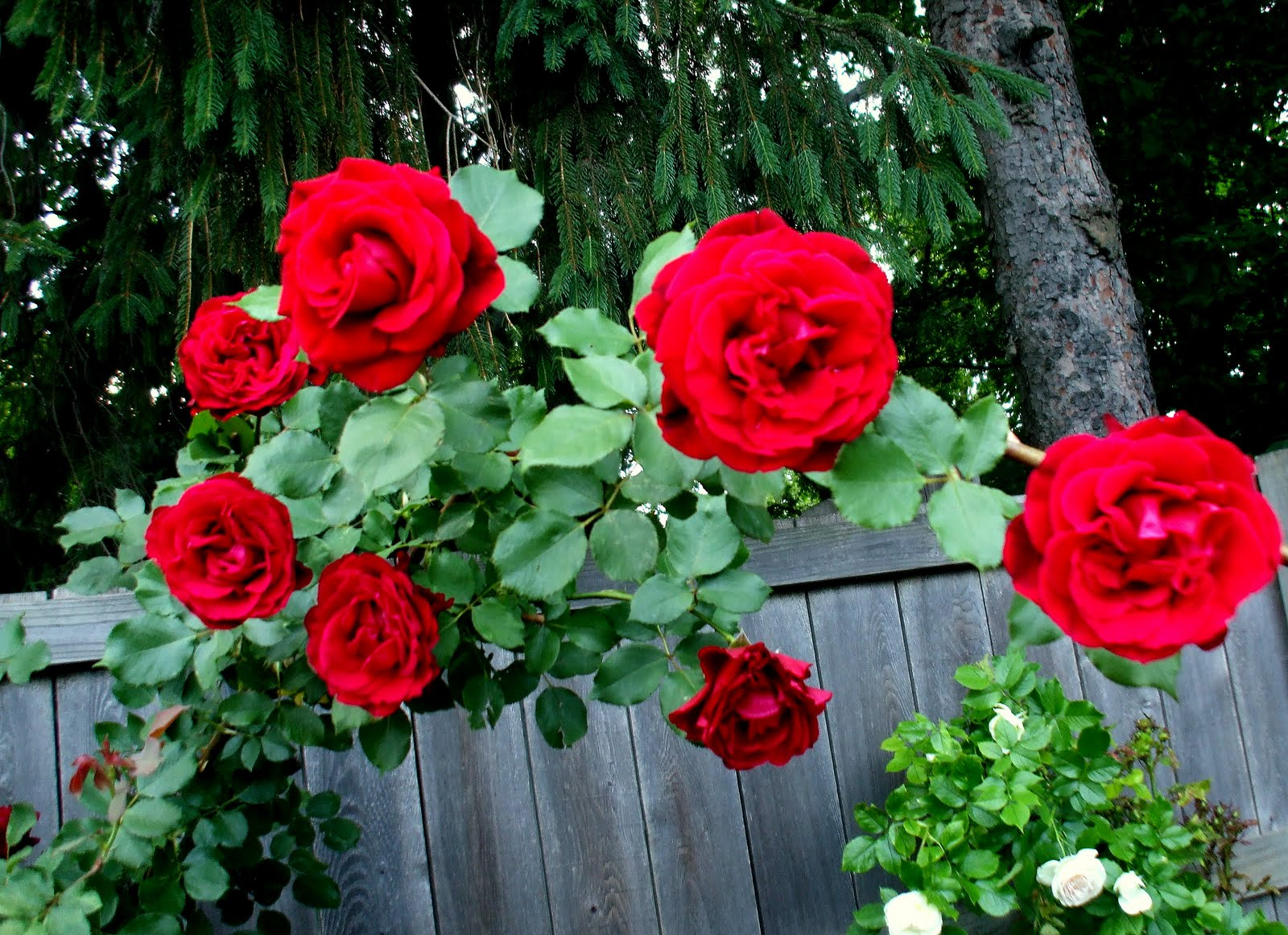 Roses In Garden: A Rose In The Garden: Everything's Coming Up Roses