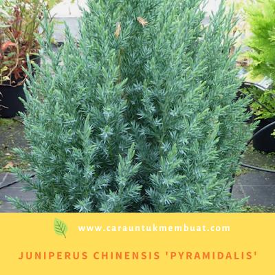 Juniperus Chinensis 'Pyramidalis'