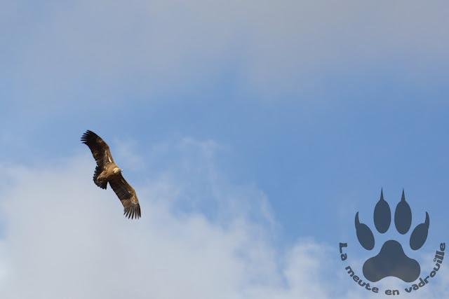 Espagne-navarre-bardenas-reales-vautour-fauve