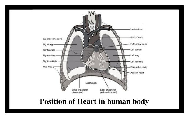 position of heart in human body