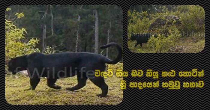 https://www.gossiplankanews.com/2020/01/sri-lanka-black-tiger.html