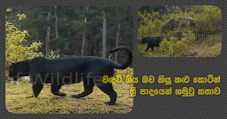 Black tigers (leopards) supposed to be extinct ... found from Sri Pada