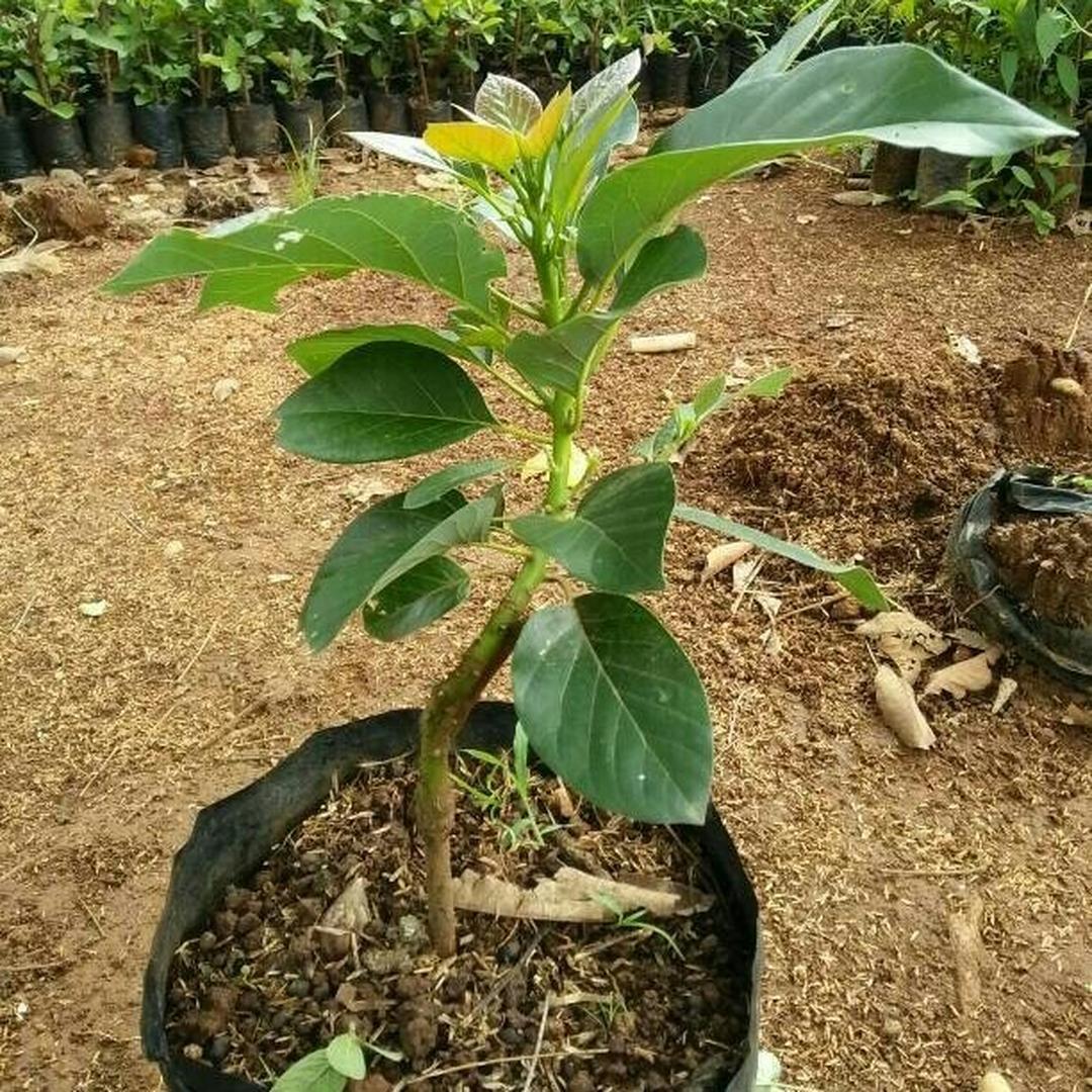 Viral! Tanaman Bibit Buah alpukat non biji Okulasi Cepat Berbuah Tambulampot Kota Jakarta #bibit buah